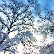 arbre givré