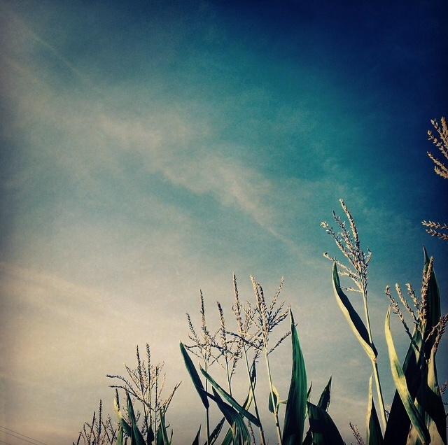 fleur de maïs